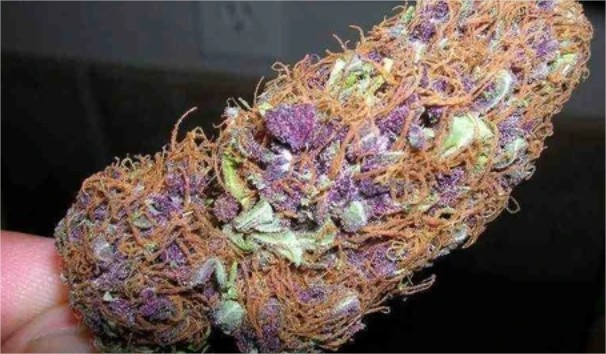 purple haze cannabis